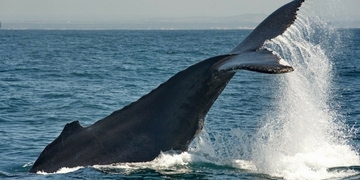 Whale Watching Southern Right Port Elizabeth